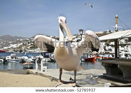 Pelican of Mykonos Greece Petros spreads his wings in Mykonos  town - stock photo