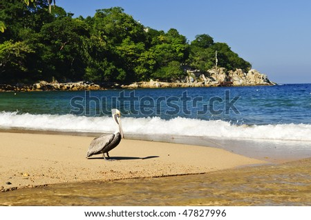 Pelican on beach near Pacific ocean in Mexico - stock photo