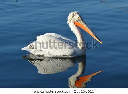 Pelican on Blue Water, Pelican, Blue Water, Reflection, Bird - stock photo