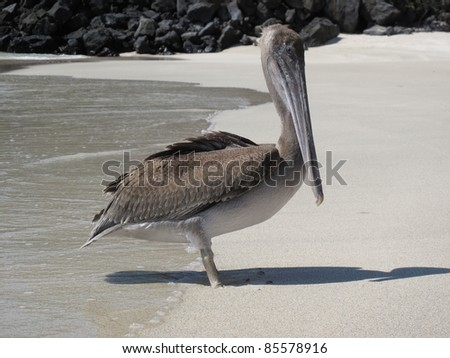 Pelican on the Beach - stock photo
