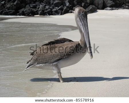 Pelican on the Beach - stock photo