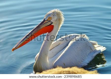 Pelican on Water, Pelican, Water, Blue, Beak, Orange, Bird, Seabird - stock photo