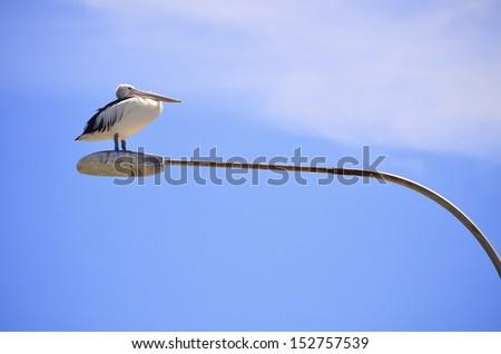 Pelican perched on street lamp on Kangaroo Island, South Australia - stock photo