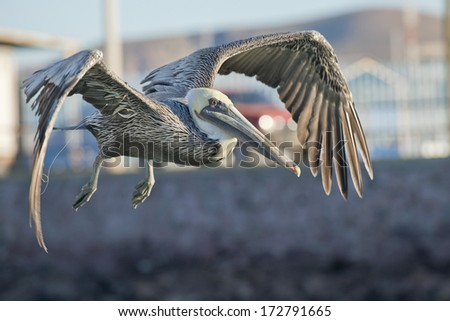 Pelican portrait on the sky background - stock photo