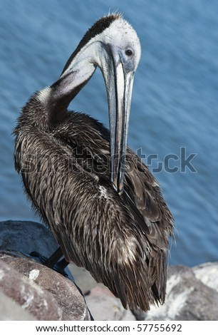Pelican preening  after diving for fish in Mexico - stock photo