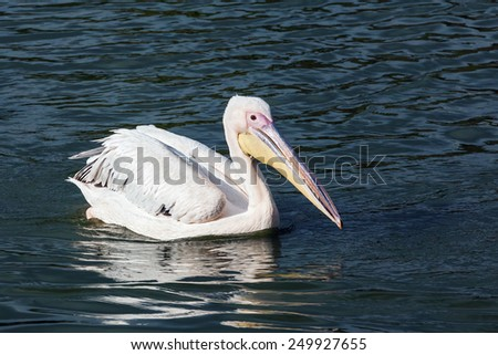 Pelican profile. A beautiful pelican shows off its finery as it floats on a lake. - stock photo