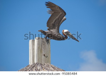 Pelican ready for takeoff - stock photo