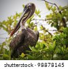 Pelican sitting in a mangrove tree - stock photo
