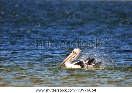 Pelican splashing in water