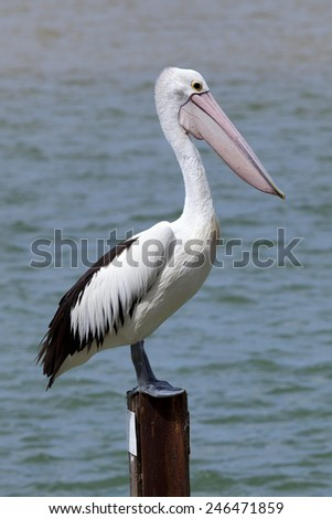 Pelican standing at a wooden jetty pole at Rainbow Beach , Queensland, Australia - stock photo