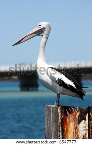 Pelican standing on a pier - stock photo