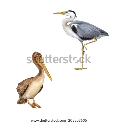 pelican standing proud on a white background. Grey Heron standing, Ardea Cinerea, isolated on white - stock photo