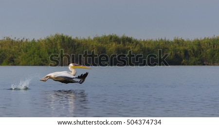 pelican take-off