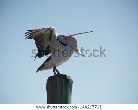 Pelican Trick - stock photo