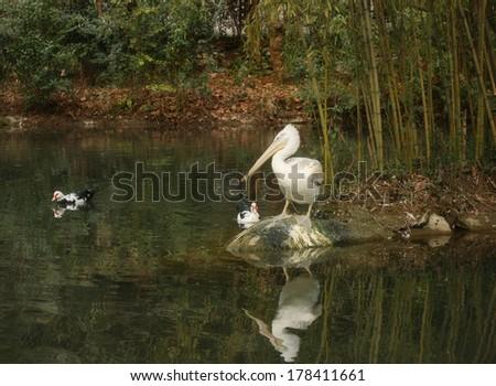 Pelican watching a duck - stock photo