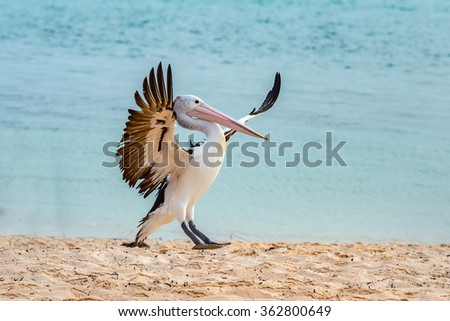 Pelican while landing on the beach in Australia - stock photo