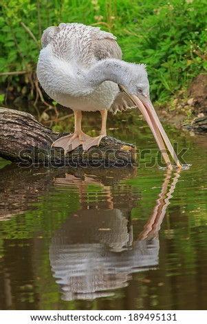 pelican with  its reflection in the water - stock photo