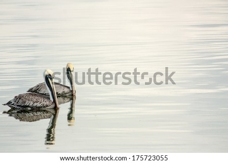 Pelicans - stock photo