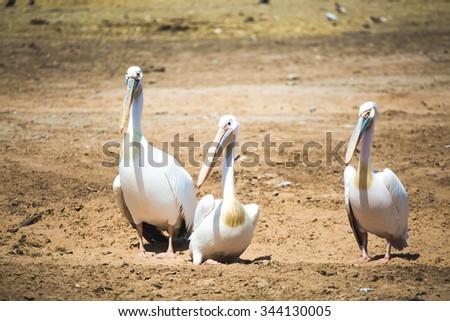 Pelicans. - stock photo