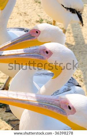 Pelicans and beaks - stock photo