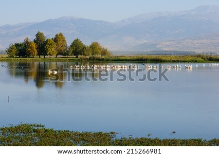 Pelicans and other birds in Agamon Hula bird refuge, Hula Valley, Israel