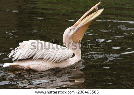 Pelicans are a large water birds. Pink pelican with caught fish in its beak. - stock photo