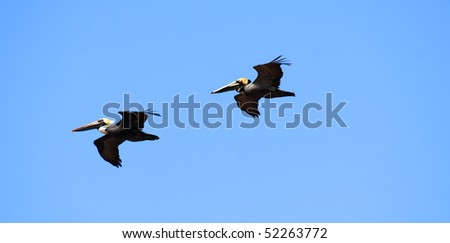 Pelicans are flying over  Caribbean sea on sunny day - stock photo