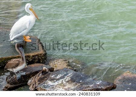 Pelicans at Galveston Island, Texas - stock photo