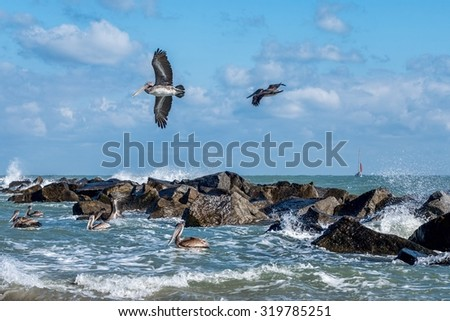 Pelicans at the Fort Pierce inlet, Florida. The Florida Brown Pelican (Pelecanus Occidentalis) is  the smallest of all pelicans in the United States - stock photo