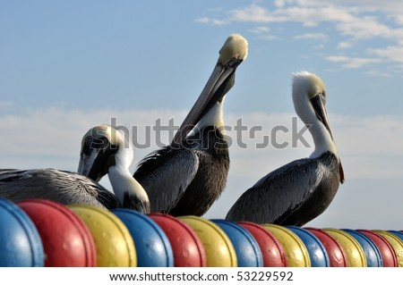 Pelicans enjoying a sunny day at St. Mary's Island, Tampa - stock photo