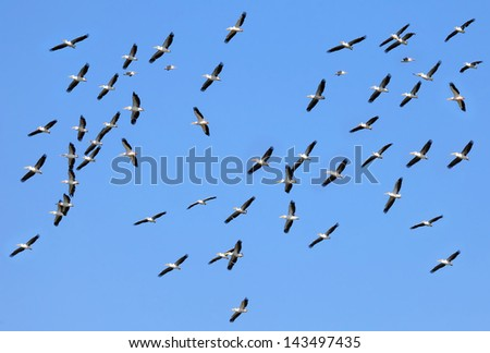 Pelicans flying in the blue sky in natural habitat - stock photo