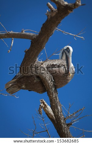 Pelicans, Galapagos Islands - stock photo