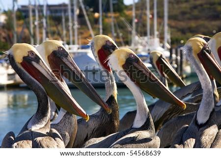 Pelicans in San Carlos, Mexico - stock photo