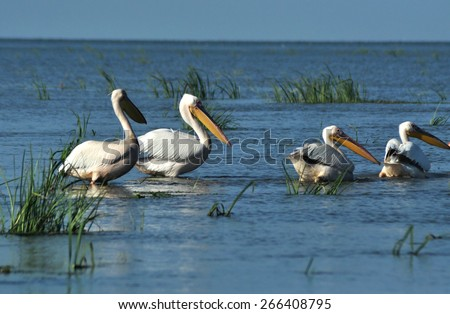 Pelicans in the Danube delta - stock photo