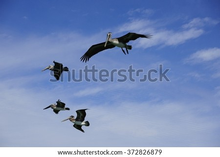 Pelicans in the sky - stock photo