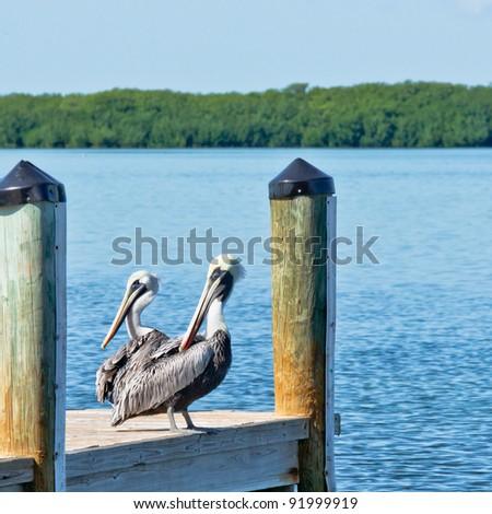 Pelicans on dock in Islamorada, Florida Keys - stock photo
