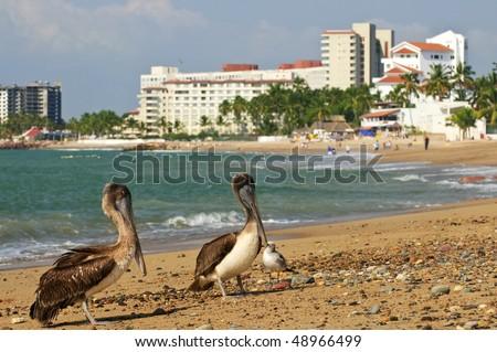 Pelicans on Puerto Vallarta beach in Mexico - stock photo