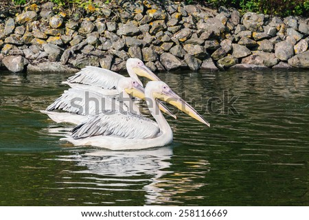 Pelicans swimming side by side. Three lovely pelicans swim along together side by side. - stock photo
