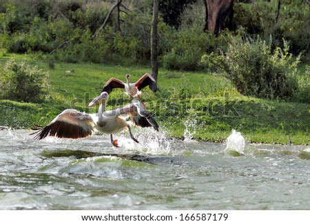 Pelicans taking flight at Naivasha Lake, Kenya - stock photo