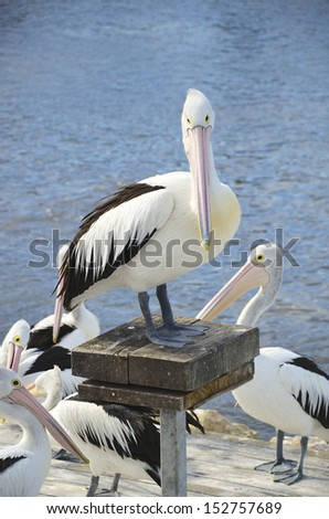 Pelicans waiting to be fed, Kangaroo Island, South Australia - stock photo