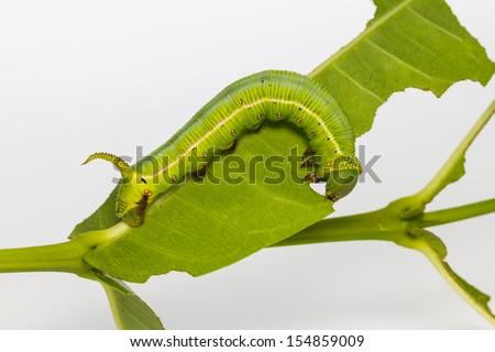 Pellucid Hawk Moth (Cephonodes hylas Linnaeus) caterpillar eating its host plant leaf - stock photo