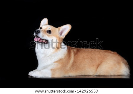 Pembroke corgi on a black background