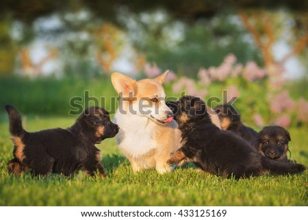 Pembroke welsh corgi dog playing with german shepherd puppies - stock photo