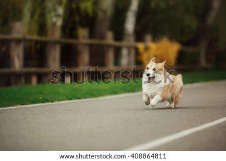 Pembroke Welsh Corgi, Dog Welsh Corgi running outdoors. - stock photo