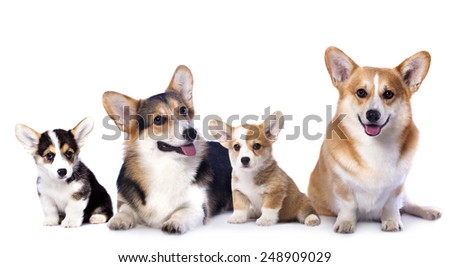 Pembroke Welsh Corgi family dog - stock photo
