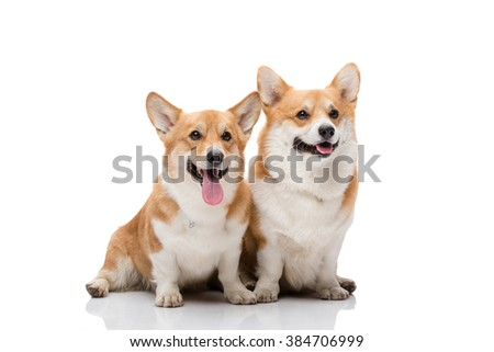 Pembroke welsh corgi female and male posing on white background with smiles on their faces - stock photo