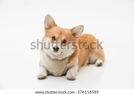 Pembroke welsh corgi laying on the floor against white background looking at the camera - stock photo