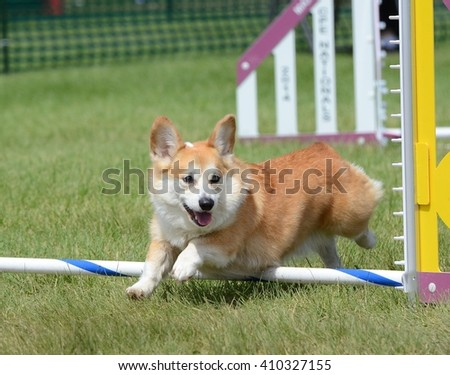 Pembroke Welsh Corgi Leaping Over a Jump at a Dog Agility Trial - stock photo