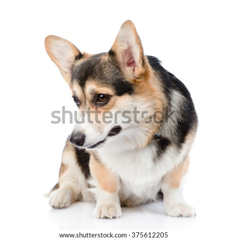 Pembroke Welsh Corgi looking down. isolated on white background