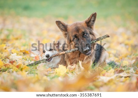 Pembroke welsh corgi puppy and german shepherd dog playing with a stick - stock photo